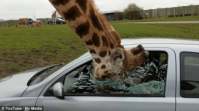 giraffe shatters car window